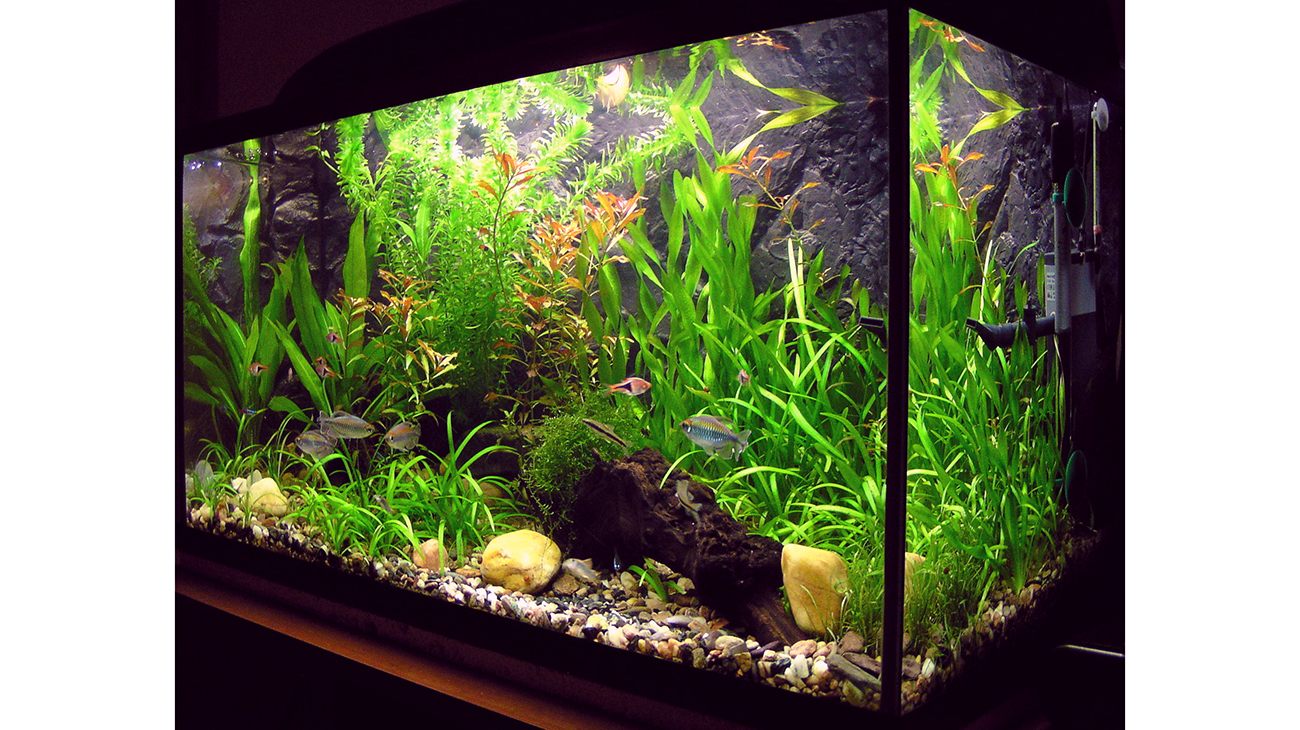 Fish keeping few tips for beginners the daily star for Starting a fish tank for beginners
