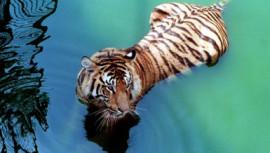 Sundarbans Tiger