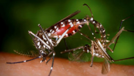 Aedes albopictus mosquitoes