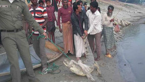 Natore freshwater croc released in Padma