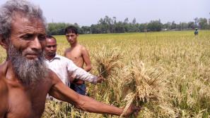 Bumper crop inflict loss for Lalmonirhat farmers