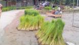 Aman farming uncertain in Gaibandha, Dinajpur