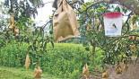 Fruit bagging to ensure chemical-free mangoes