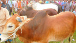 'Local cattle sufficient for Eid demand'