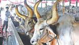 Gabtoli Cattle Market: Anomalies taking toll on traders