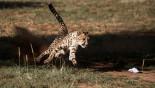 Cheetahs 'sprinting' towards extinction