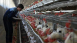 Chicken odour 'prevents malaria'