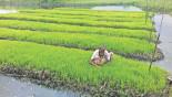 Floating seedbeds a win for Kishoreganj farmers