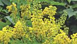 Golden flower Kuchai