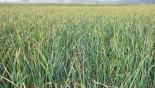 Farmers eye good garlic production