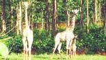 Giraffe cub born at Bangabandhu Safari Park