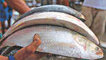 No-hilsa campaign worked well