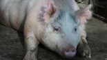 Scientists grow human organs for transplant inside pigs