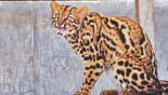 Marbled cats still exist in Srimangal