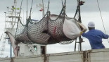 Japan kills 333 Antarctic Minke whales for 'scientific research'