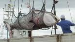 Japan kills 333 Antarctic Minke whales for 'scientific research'