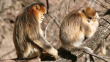 Monkey seen caring for dying mate, grieves after she dies
