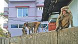 Save the Sylhet monkeys