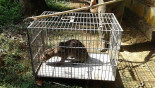 Fishing cat rescued, released in Lawachhara