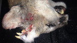 Mountain lion found with extra sets of teeth in head