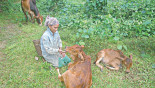 Cattle Farming in Hills: Mro community makes a shift