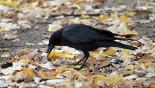 No bird-brain here: Ravens can plan ahead