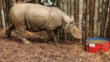Thrilling find in Borneo - a rhino species long thought gone