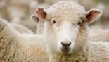 Sheep recognise Barack Obama from photo