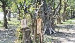 Rampant felling of trees threatens Tanguar Haor