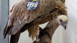 Lebanon returns Israeli vulture cleared of spying