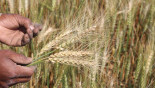 Bangladeshi scientists offer to help India combat wheat blast