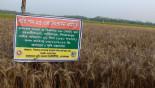 Wheat blast fear cuts farming