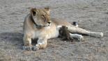 Wild lion nursing leopard cub