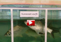 Fish farming: 50% profit in 5 months (video)