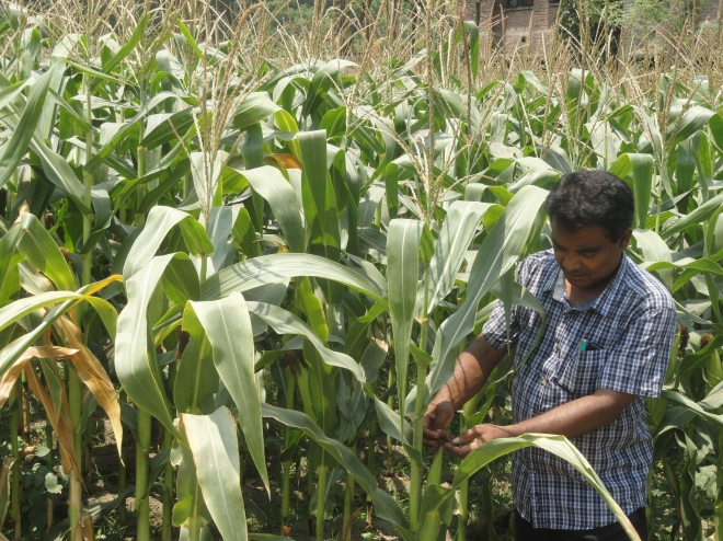 A farmer tends maize plants at his farmland at Balapara village in Lalmonirhat Sadar upazila.  Photo: Star