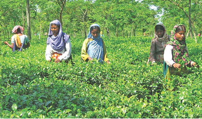 A group of women plucking tea leaves in Panchagarh. PHOTO: STAR