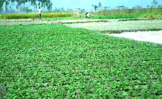 A potato field in Teesta char area under Belka union of Sundarganj upazila in Gaibandha. River erosion victims of seven unions in the upazila hava turned the sandy area into  productive land. Photo: Star