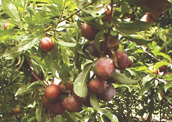 A fruiting alu bukhara tree at Shawkat's orchard in Muktagachha upazila under Mymensingh district. PHOTO: STAR