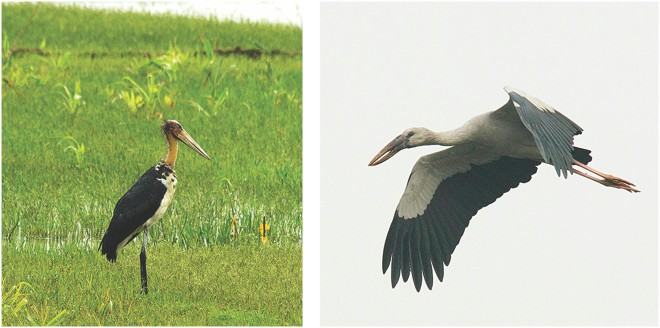 Lesser Adjutant (left) and Asian Openbill showing the gap (right).  Photo: Ihtisham Kabir