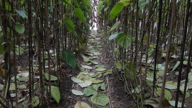 Patajhora roag, marked by massive fall of leaves, badly affects the betel plantations in Narail district as the ongoing cold wave coupled with dense fog causes the disease. The photo was taken from Ujirpur village in Narail Sadar upazila on Wednesday. PHOTO: STAR