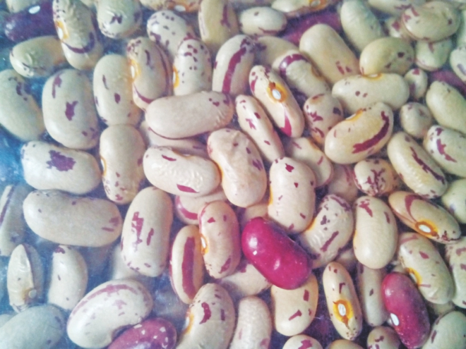 Biofortified beans, first released in Rwanda in 2010. Half of 1.2 million Rwandese farm families now grow this bean which is reach in iron content. Photo: Birri, Reaz Ahmad