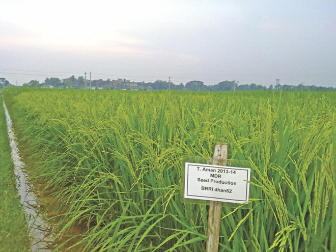 The world's first biologically fortified (biofortified) zinc-enriched rice BRRI dhan62. Developed by Bangladeshi scientists, it will go to farmers in large scale from coming Aman season. Photo: Birri, Reaz Ahmad