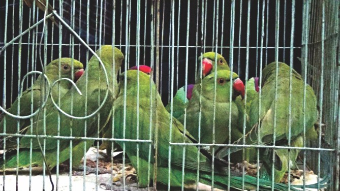 A mobile court rescued these parrots, among other birds and turtles, from poachers during a raid in different areas of Chalan Beel yesterday.   PHOTO: STAR