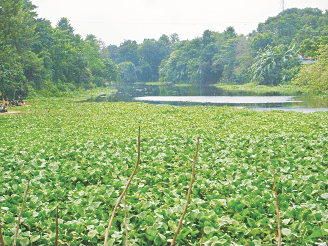 It is hard to imagine that this water hyacinth infested water body is the Boral river that flows between the mighty Padma and Jamuna rivers through Chalanbeel. Photo: Star