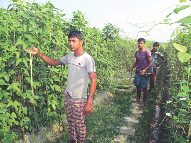 Three farmers engaged in tending and spraying pesticides on bean plants on their farmland at Sreepur village in Kulaura upazila of Moulvibazar district. Photo: Star