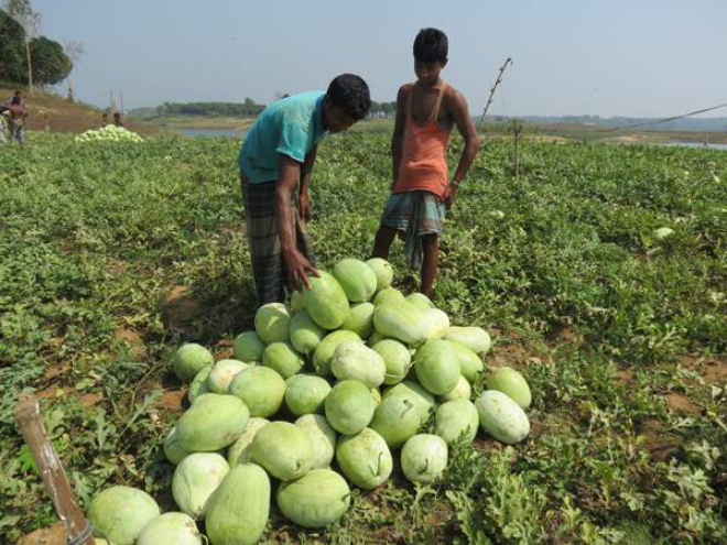 Farmers harvest watermelons at a field in Rangamati Sadar upazila. The area sees rapid increase in the commercial cultivation of the popular summer fruit.  PHOTO: STAR