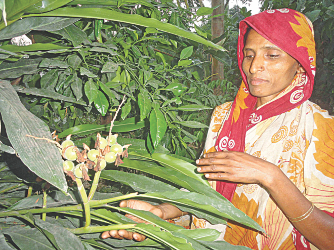Asma Begum tends to her cardamom plant.  PHOTO: STAR