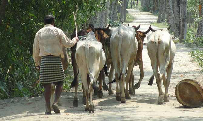 This Star file photo shows a Bangladeshi cattle trader brings cows from Indian border
