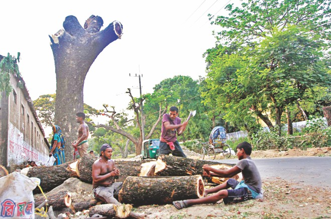 Century-old trees being cut down at Tigerpass in Ambagan area in Chittagong city's Pahartali yesterday. No one could ascertain who actually ordered the move, although people who were cutting the trees said a local Awami League leader instructed them to do so. Photo: Prabir Das