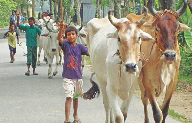 Kids engaged in cattle smuggling in the bordering area of Lalmonirhat Sadar upazila. The photo was taken recently. Photo: Star